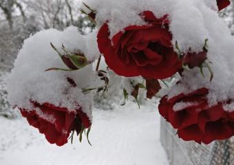Rosen im Schnee DCM